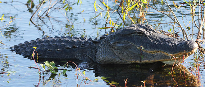 Stretching 100 miles from Lake Okeechobee to Florida Bay, the Everglades and are the only place in the world where both crocodiles and alligators live in the wild!